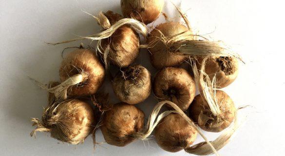 saffron-bulbs